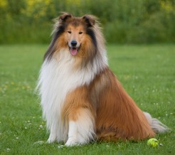 cao-cachorro-rough-collie-raca-fotos