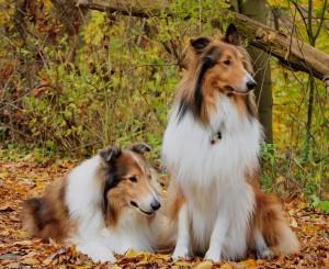 rough-collie-fotos-imagens-caes-cachorros