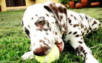 cachorro-dalmata-brincando-fotos-imagens