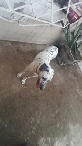 doacoes-cachorro-raca-dalmata-sao-paulo-sp