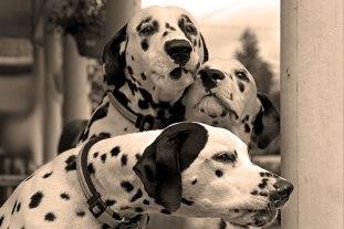 fotos-de-cachorros-dalmatas