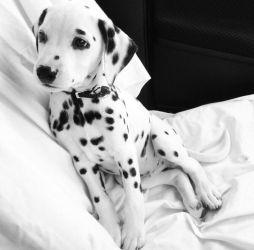 fotos-de-filhote-cachorro-dalmata