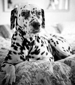 imagens-fotos-cachorro-dalmata-cao