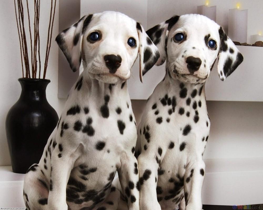 fotos-imagens-cachorros-caes-raca-dalmata