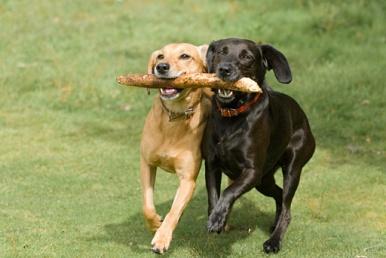ciumes-de-caes-cachorros-ciumentos