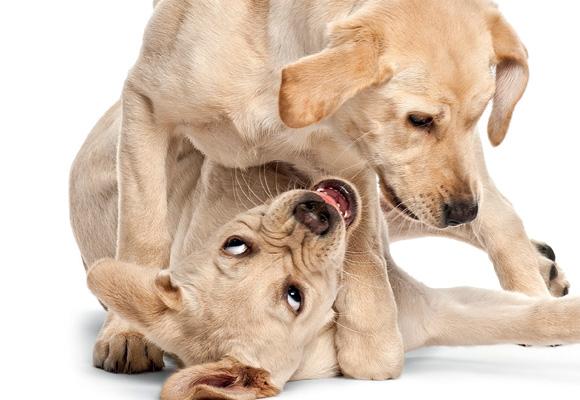 brigas-entre-caes-cachorros-como-separar-em-casa
