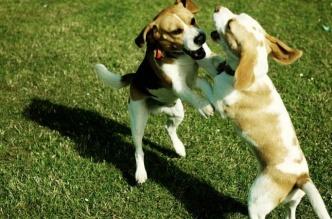 brigas-entre-caes-cachorros-em-casa
