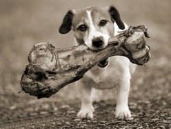 cachorro-caes-comendo-ossos-crus-cozido-engracados-fotos-imagens-www-okamix-com-br