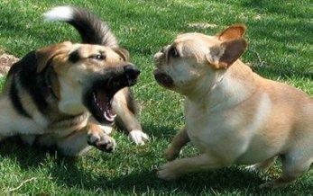 cachorros-briguentos-caes-como-separar
