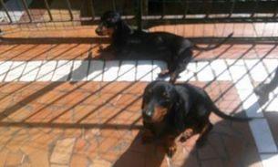 dachshund-salsisinha-caes-cachorro-doacao-em-sao-paulo-sp