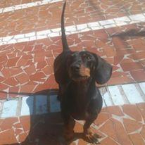 quero-adotar-cao-cachorro-salsicha-salsichinha-dachshund-preto-marrom-sao-paulo-sp
