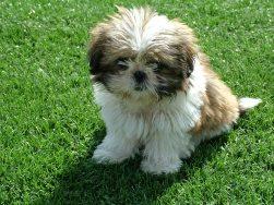 cachorro-caes-cao-raca-shih-tzu-fotos-imagens-bonitas