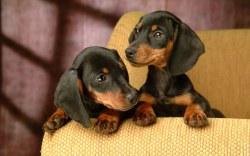 cachorro-caes-cao-racas-filhotes-dachshund-fotos-imagens