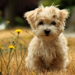 cachorro-caes-cao-racas-poodle-poodle-fotos-imagens