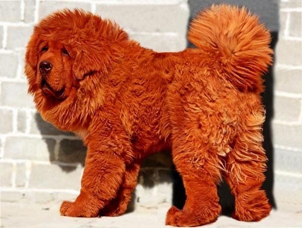cachorro-cao-caes-mais-caro-do-mundo-fotos-imagens