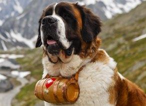 cachorro-cao-sao-bernardo-caracteristicas-fotos-imagens
