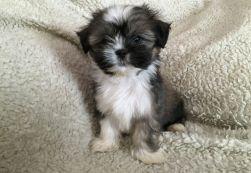 cachorro-lhasa-apso-racas-fotos-imagens-filhotes