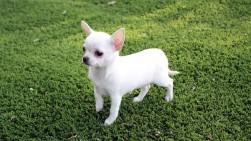 cachorro-racas-caes-cao-chihuahua-fotos-imagens