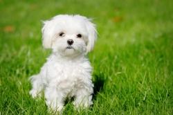 cachorros-caes-cao-racas-maltes-filhotes-fotos-imagens