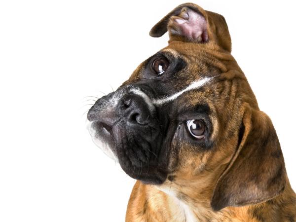 cachorros-caes-entendem-compreendem-o-que-falamos-humanos