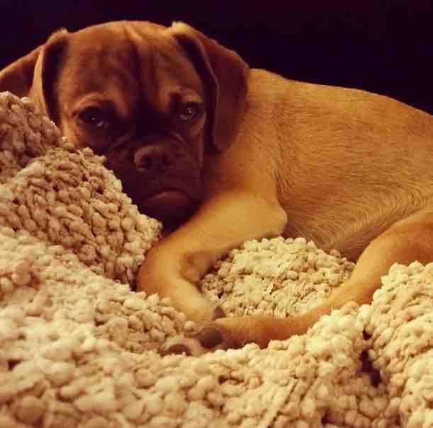 cachorros-caes-mais-feios-emburrado-earl-fotos-imagens