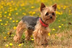 cachorros-caes-racas-Yorkshire-Terrier-fotos-imagens