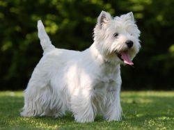 cao-cachorros-caes-racas-west-highland-white-terrier-filhotes-fotos-imagens