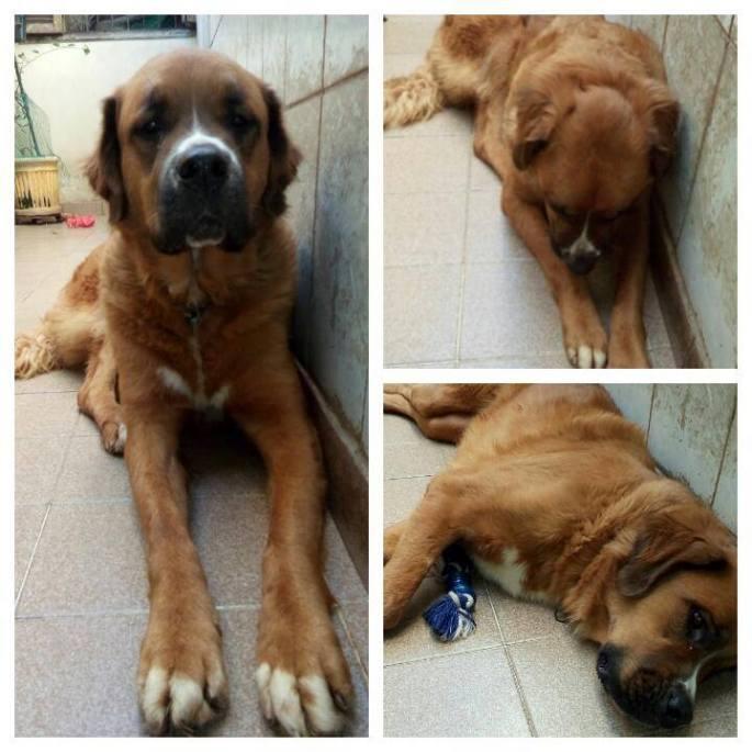 doação-adocao-cachorro-caes-raca-sao-bernardo-sao-paulo-sp