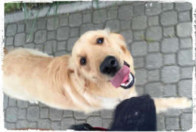 dog-walker-passeios-golden-retriever