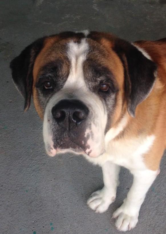 fotos-caes-de-raca-cachorros-sao-bernardo-fotos-imagens-www-okamix-com-br