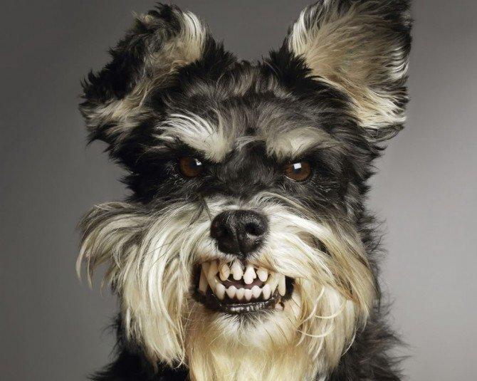 caes-cachorros-cao-bravos-fotos-imagens