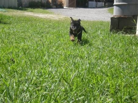 doacoes-de-cachorros-raca-rottweiler