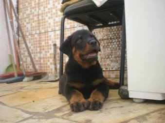 doacoes-doacao-de-cachorro-raca-rottweiler-sao-paulo-sp