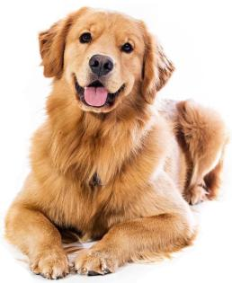 fotos-de-caes-cachorros-raca-golden-retriever