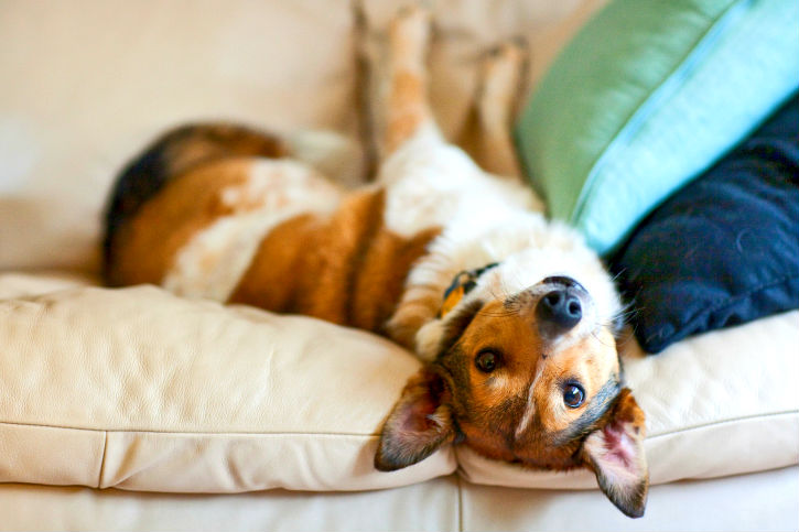 fotos-imagens-cachorro-subir-sofa-moveis