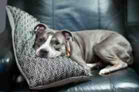 fotos-imagens-cachorros-caes-dormindo-no-sofa