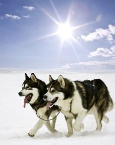husky-siberiano-neve-alasca-fotos-imagens