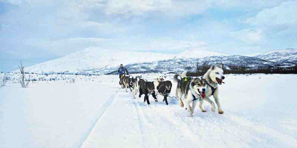 husky-siberiano-neve-alasca-treno-fotos-imagens