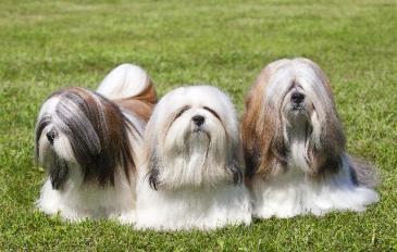fotos-imagens-cachorros-raca-lhasa-apso