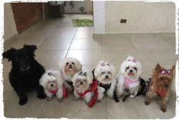 adestramento-de-caes-cachorro-raca-maltes-yorkshire