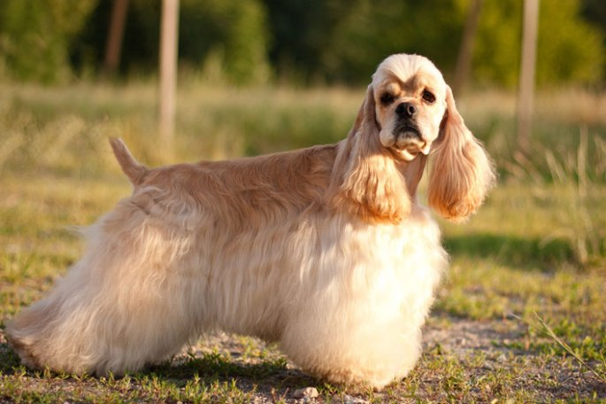 cachorro-raca-cocker-spaniel-americano-fotos-imagens