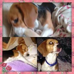 doacao-cachorro-raca-beagle