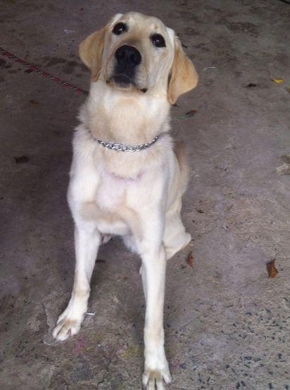 doacao-cachorro-raca-labrador-retriever