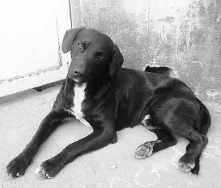 doacao-de-cachorro-labrador-preto