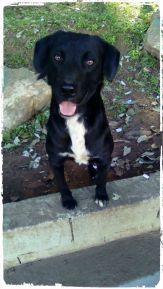 doacoes-cachorro-labrador-retreiver-preto-sao-paul