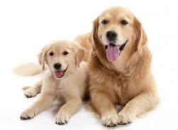 fotos-imagens-cachorro-labrador-retriever-filhote
