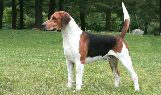 fotos-imagens-cachorro-raca-beagle-harrier