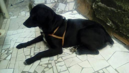 fotos-imagens-labrador-preto